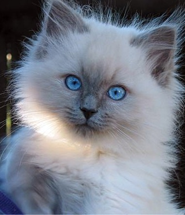 The gallery for --> Lilac Point Ragdoll Cat